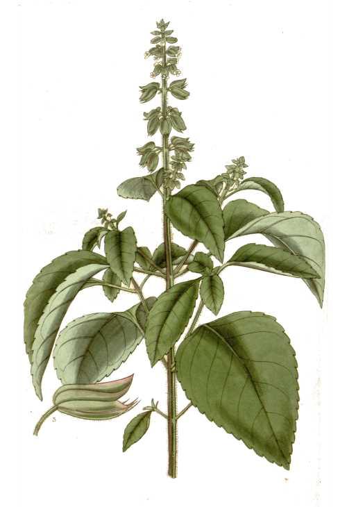 Heilkräuter: Basilikum
