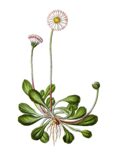 Heilkräuter: Gänseblümchen