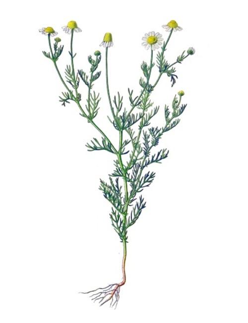 Heilkräuter: Kamille