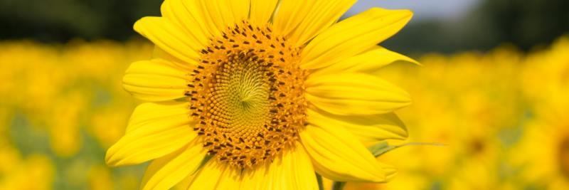 Mengenelemente: Sonnenblume