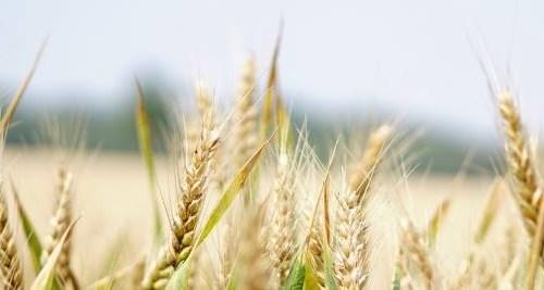 Vitamin B3: Getreide