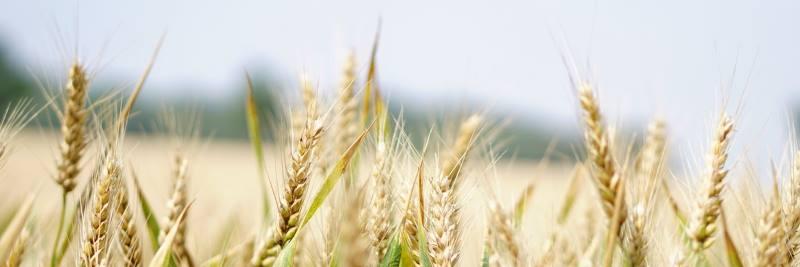 Mineralstoffe: Weizen