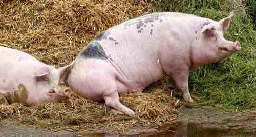 Vitamin A: Schweineleber
