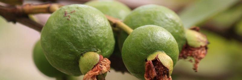 Vitamin C: Guave